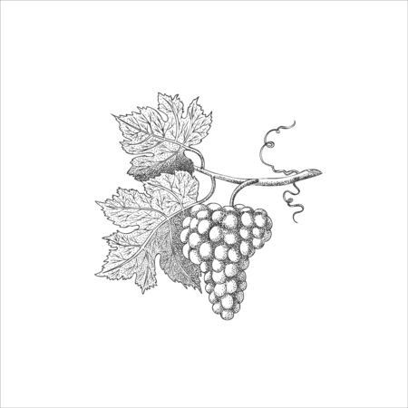 Vector engraving drawing illustration of bunch of grapes isolated on white background - Vector illustration