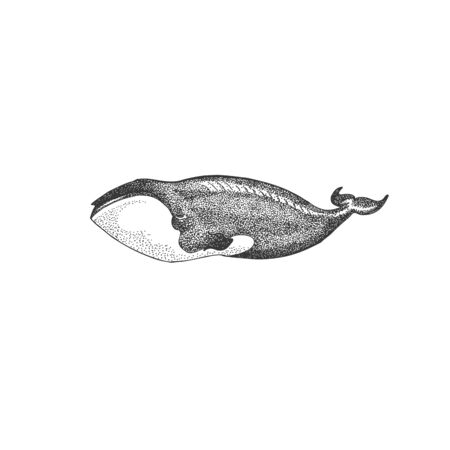 Black and white hand drawn illustration vector art. Blue whale illustration on isolated white background, endangered marine animal concept. Educational wildlife design - Vector Ilustracja