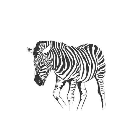 Vector zebra standing isolated on white background, graphical sketch illustration Vektorgrafik