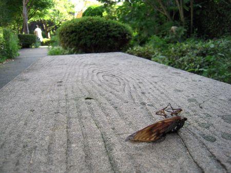 日本の夏の終わりに貧しい蝉