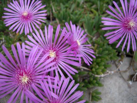 満開のピンクの花 写真素材