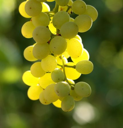grapes hanging in the vineyard in summer photo