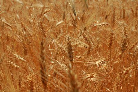 corn field Stock Photo - 3581391