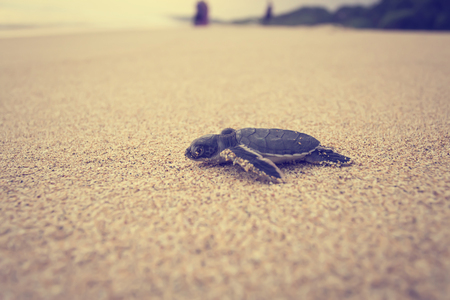 a newly hatched sea turtle journey Stock Photo