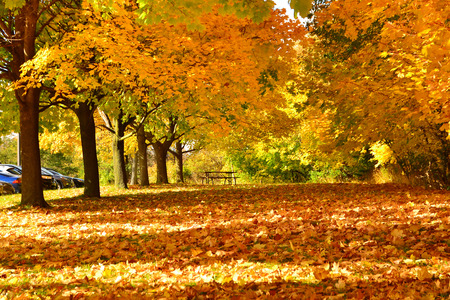 maple leaves trees