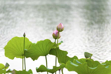 Jinan Baimaiquan Park lotus photo