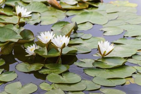 Jinan Baimaiquan lotus photo