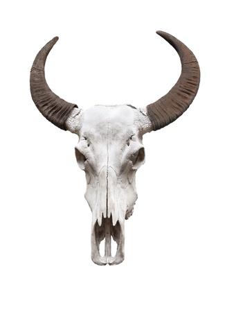 dry cow: Water buffalo skull, isolated