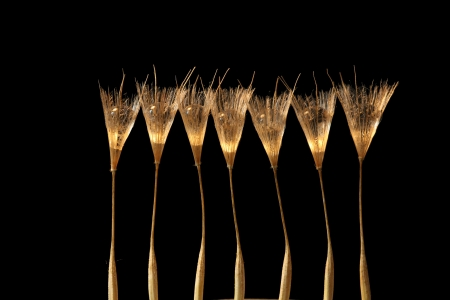 Dandelion Seed with Water Drop as flute champagne Glass  photo