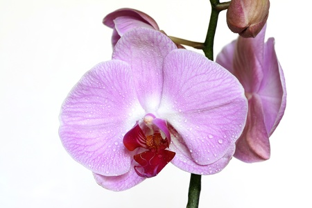 lila: Lila Orchids with Water Drops