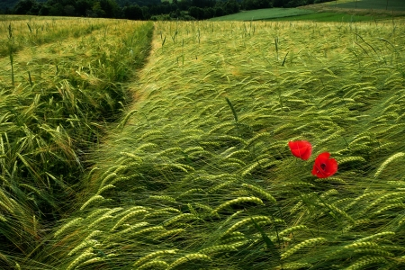 green wheat - barley fields with poppy flowers photo
