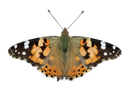 vanessa: butterfly - painted lady, isolated