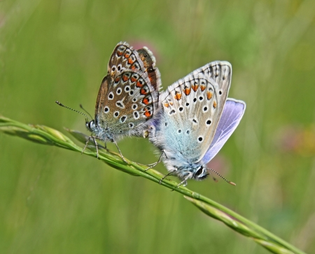 The mating butterflies - common blues  Polyommatus icarus  Stock Photo - 15731948