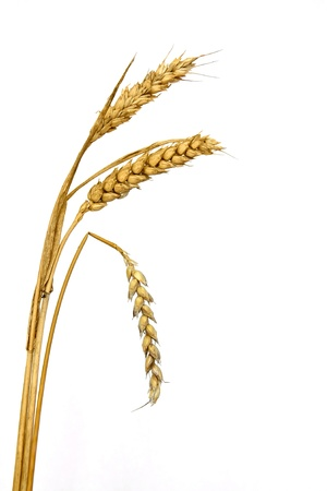 Wheat Ear   Spike with one bent   symbol of passing away