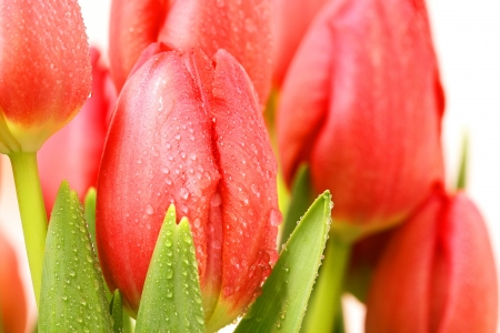 Macro of Dewdrops on Red Fresh Tulips