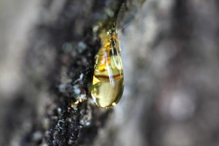 resin: Resina cae de un enfoque manual de �rbol de pino Foto de archivo
