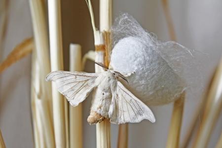 Silk Moth on Cocoon Stock Photo