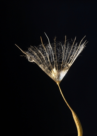 salsify seed with drop inside Stock Photo