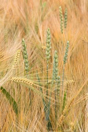 Ripe barley field with a few green wheat spike