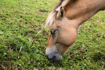 A grazing brown horse photo