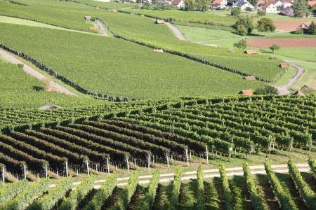 Vineyard in summer time