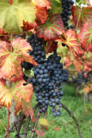 pinot: Wine grape Pinot noir with green-red vine leaves in vine yard