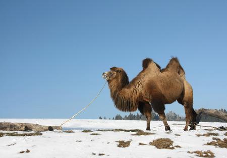 A Bactrian Camel  Camelus bactrianus