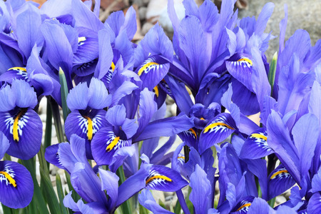 iris reticulata: Dutch miniature blue iris  Iris reticulata  Stock Photo