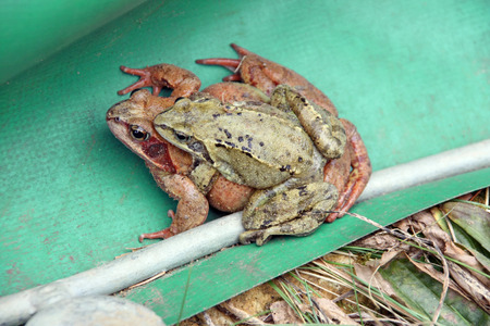 two mating frogs are found behind the frog fence photo
