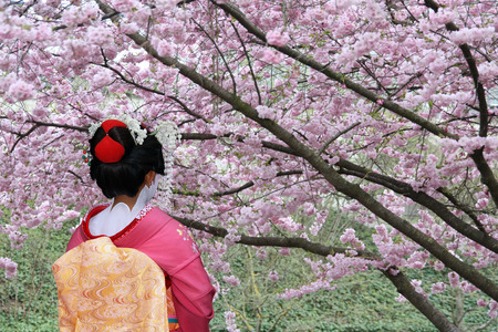 maiko: Japanese Geisha in front of a blooming cherry tree Stock Photo