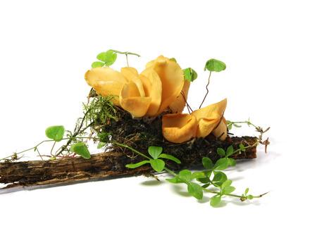 mycology: Mushroom Hares Ear (Otidea onotica) Stock Photo
