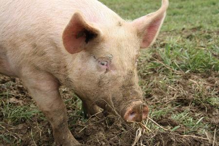 grown: Farm animal - pig in fleld grown