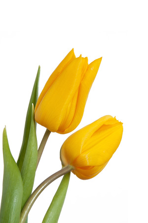 Two yellow tulips isolated Stock Photo