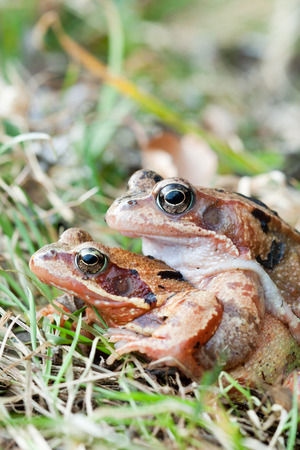 spawning: Mating frog after hibernation and before spawning migration Stock Photo