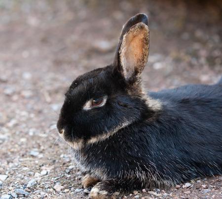 Farm animal  rabbit