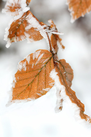 winter leaf: Winter leaf with frost