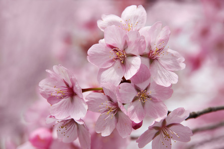 Cherry flowers in spring time Stock Photo