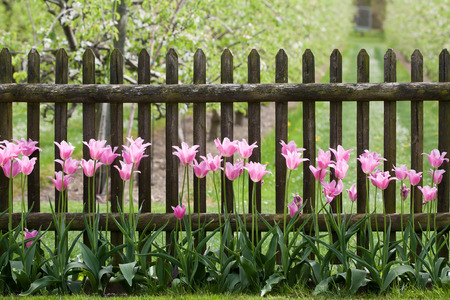 Pink tulips at garden fence Stock fotó - 46778661