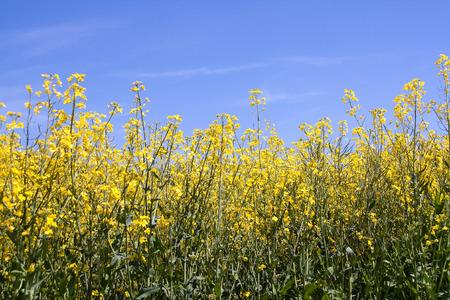 Rape field against blue sky
