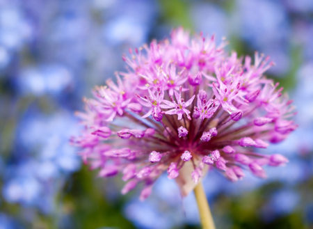flowering Giant Onion Alium Gigenteum with forget-me-not in the background Stock Photo