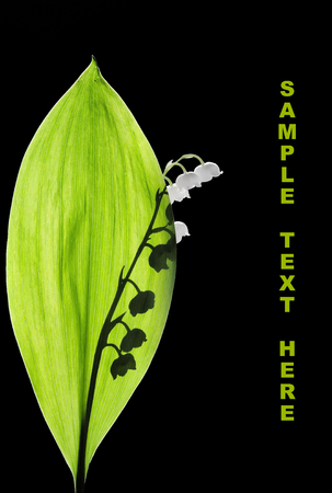 Lily of the Valley in backlit, isolated on black background