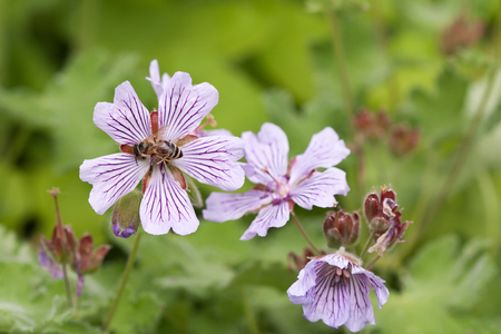 Mallow flower and bee