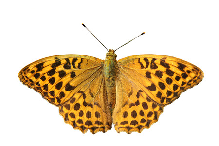 butterfly - Silver-washed Fritillary ( (Argynnis paphia)) isolated