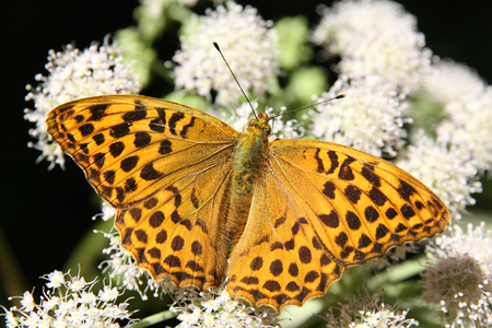 Butterfly - Silver-washed Fritillary (Argynnis paphia) feeding on white flower Stock Photo