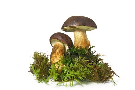 Mushroom Bay Bolete isolated on the white background 스톡 콘텐츠