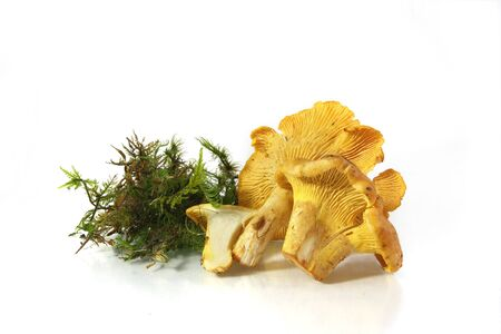 Fresh Mushroom Chanterelle with moss isolated on the white background