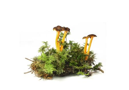 Fresh wild mushroom Yellowfoot (Cantharellus lutescens) isolated against white background Stock fotó