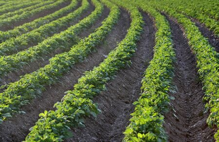 Rows of Potato field in the early evening sunlight