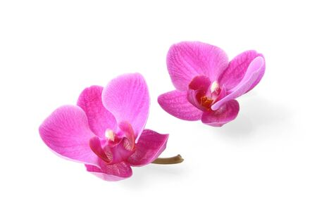 Two orchid flowers on white background (with clipping path)