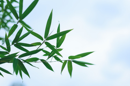 bamboo leaves close up